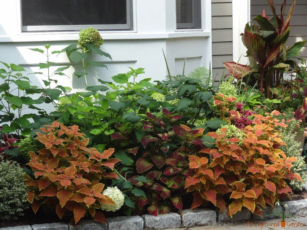 best interesting plant for shade gardens - coleus