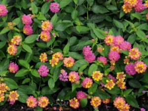 lantana, a colorful alternative to petunias