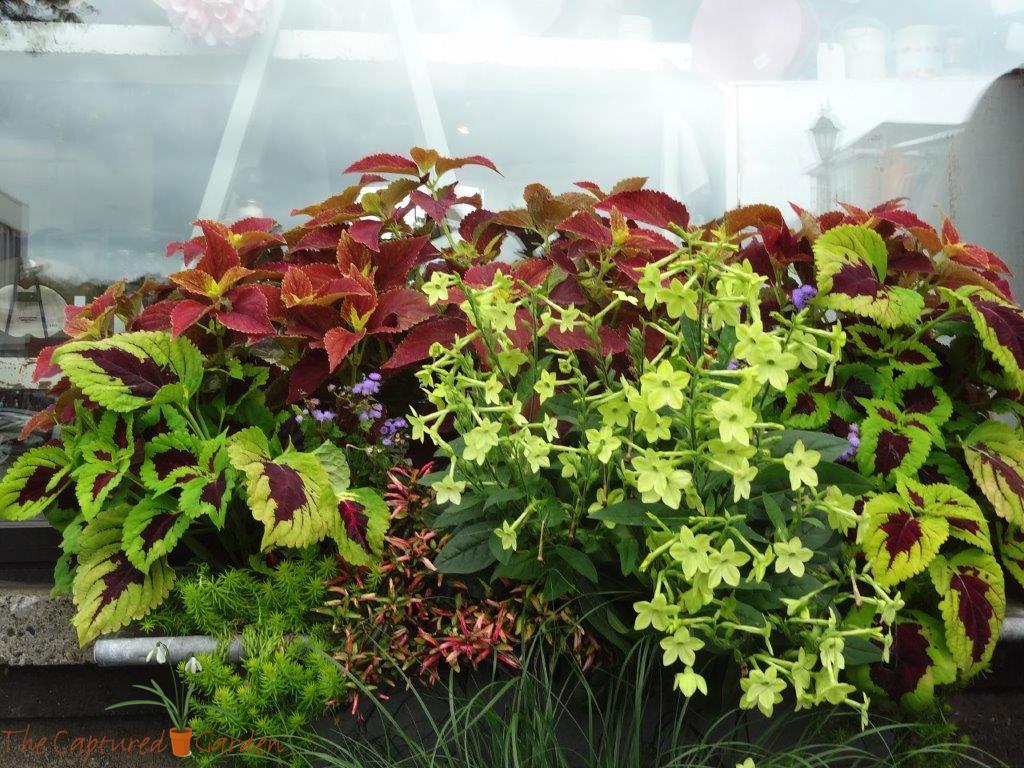 container-garden-coleus