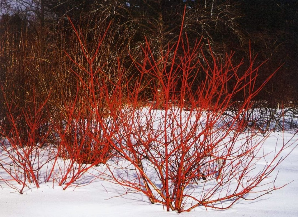 cornus alba winter