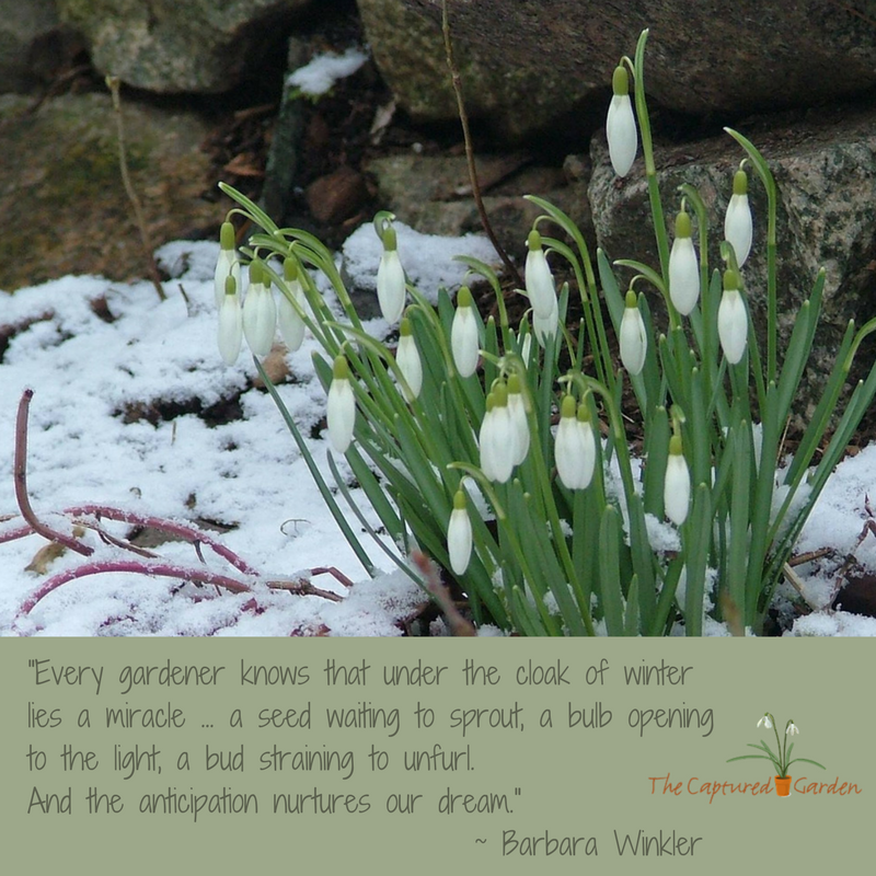 garden quotes snowdrops winter