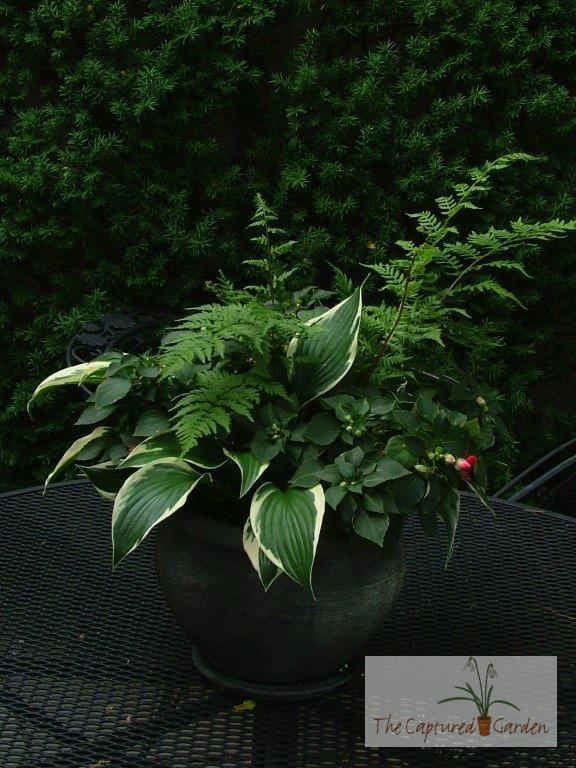 container-garden-design-hosta