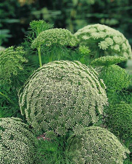 umbel in garden design