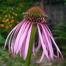 echinacea-simulata