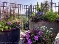 roof-garden-Beacon-Hill-pinks-geranium-grasses-coleus-alyssum-ageratum