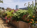roof-garden-for-bird-lovers-perennials-echinacea-allium-monarda-lantana.jpg-