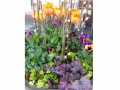 spring-container-garden-tulips-pansy