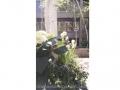 spring-container-garden-white-and-green-hydrangea-muscari-daffodil