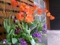 spring-planter-orange-tulips-purple-hyacinth