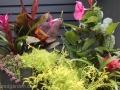 tropical-container-garden-hibiscus-mandevilla-sedum-bromeliad