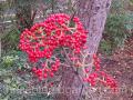 viburnum-Cardinal-Candy
