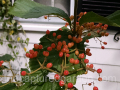 viburnum-Tandoori-Orange