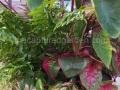 foliage-planter-with-pink-elephant-ears-caladium-watermarked