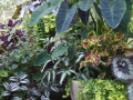 foliage-plants-on-patio-colocasia-fern-coleuswatermarked