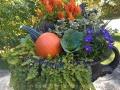 Pumpkin-aster-heather