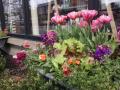 tulips-stock-nemesia-edibles