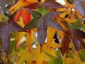 sweet-gum-leaves