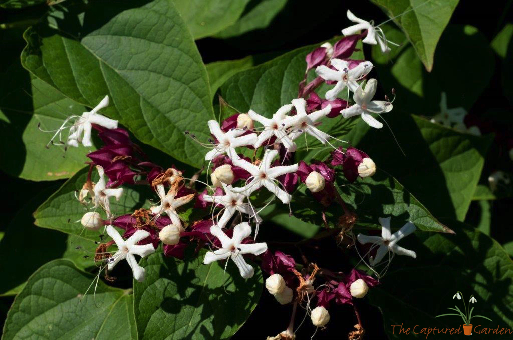 Clerondendrum, or Harlequin Glorybower.