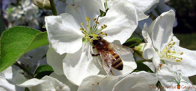 apple blossom bee pollinating
