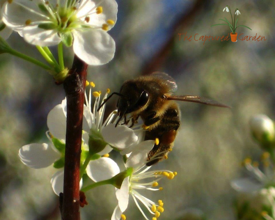 bee pollinator pear blossom