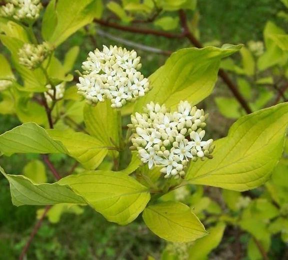 cornus alba spring flowers