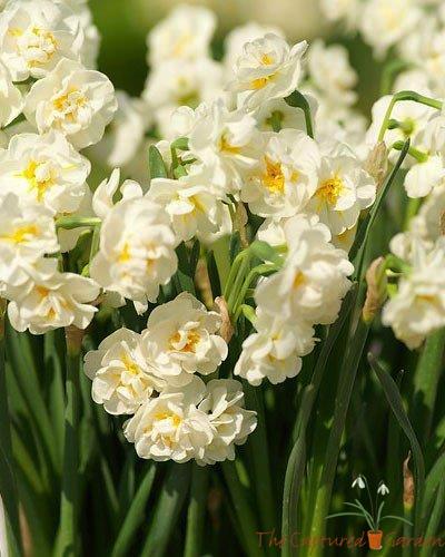 perennial favorite - daffodils