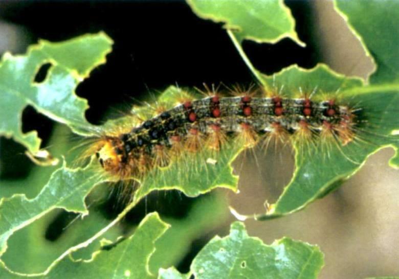 gypsy-moth-destruction-gardens-