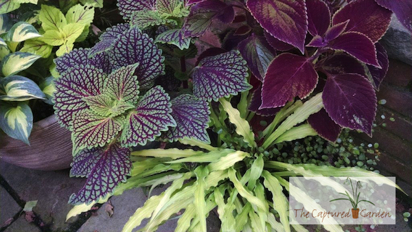 curly-fries-container-garden-design-hosta