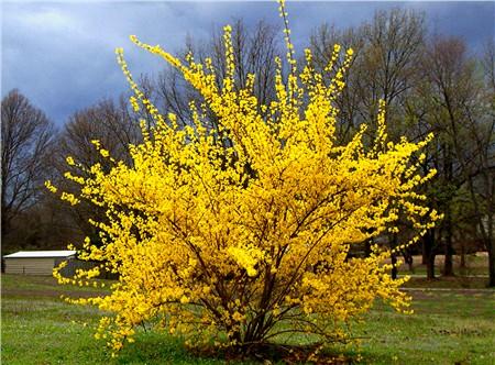 forsythia spring pruning