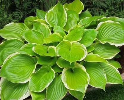 hosta_winter_snow_garden-design