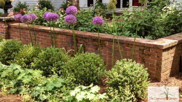 allium-landscape-garden-design-ideas