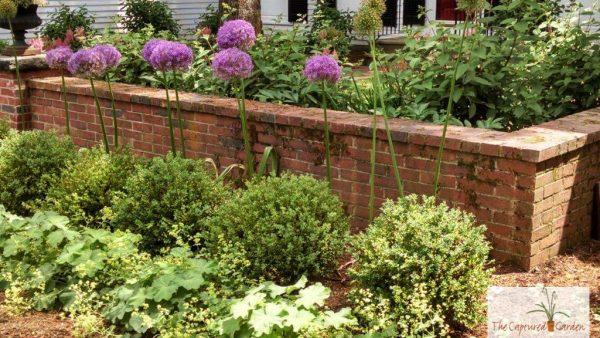 allium-landscape-garden-design-ideas