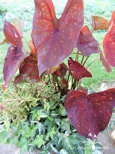 container-garden-favorites-caladium