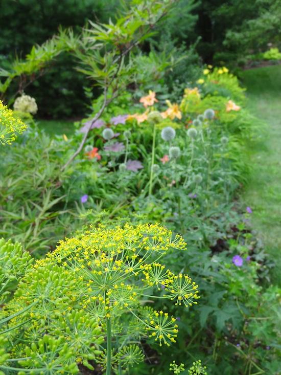umbel in garden design