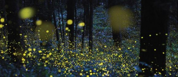 fireflies-lightning-bugs-618