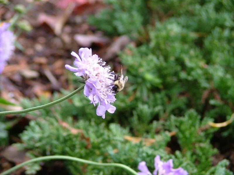 pollinator-garden-flower-bee-3