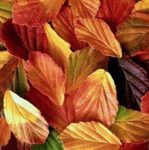witch hazel fall foliage